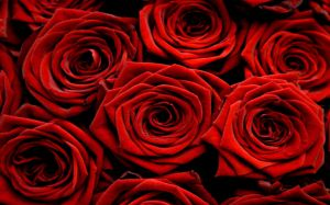 Red Rose Photos