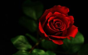 Images Of Rose Red