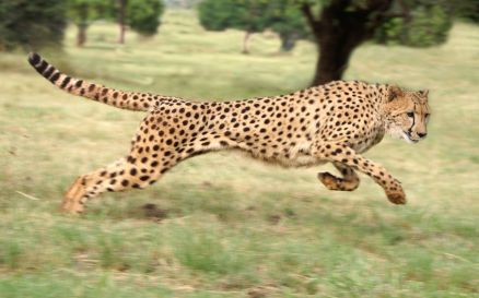 Running Cheetah Wallpaper