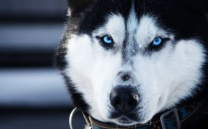 Pictures Of Siberian Husky