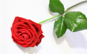 Wallpaper Single Rose