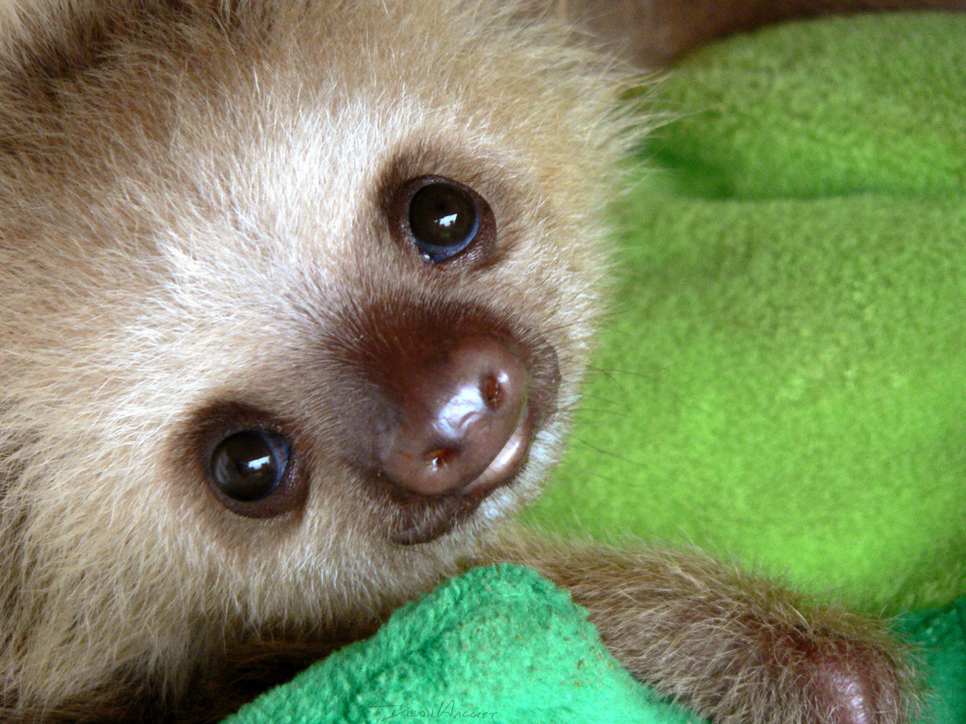 картинки маленьких ленивцев самые жаркие
