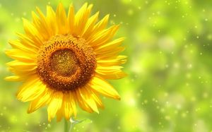 Pictures Of Sunflower