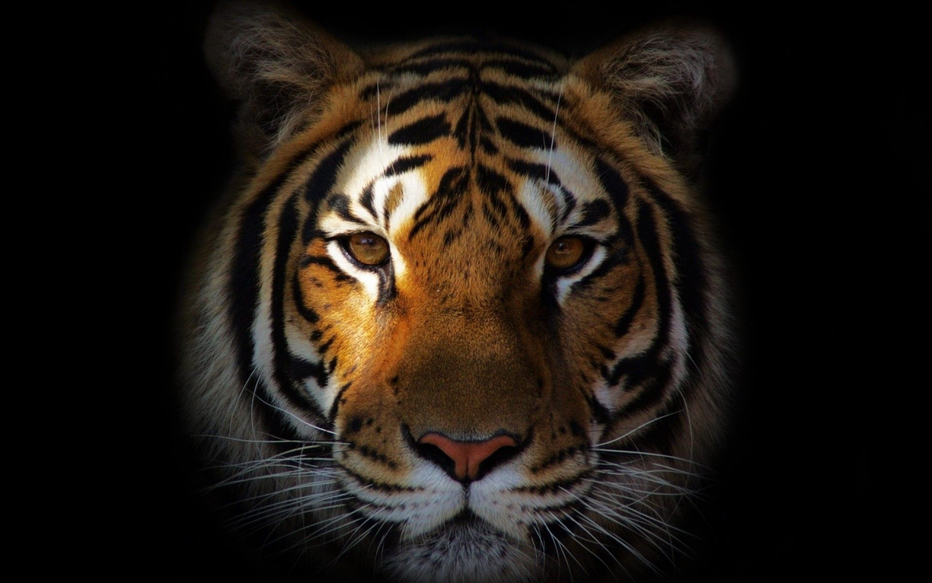 30 Nice Tiger Face Wallpapers in High Quality, Heleen Browning