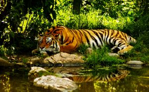 Tiger In Forest Pics