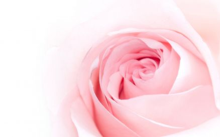 Flower Pink Rose Pics