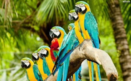 Parrot Wallpaper HD