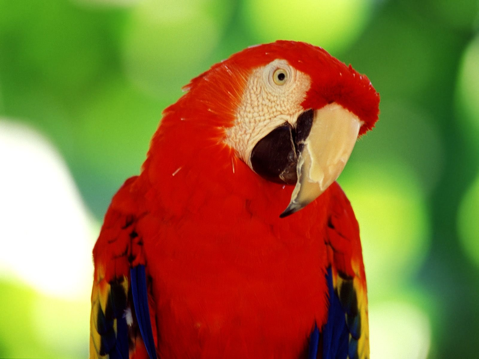 wallpaper-of-parrot