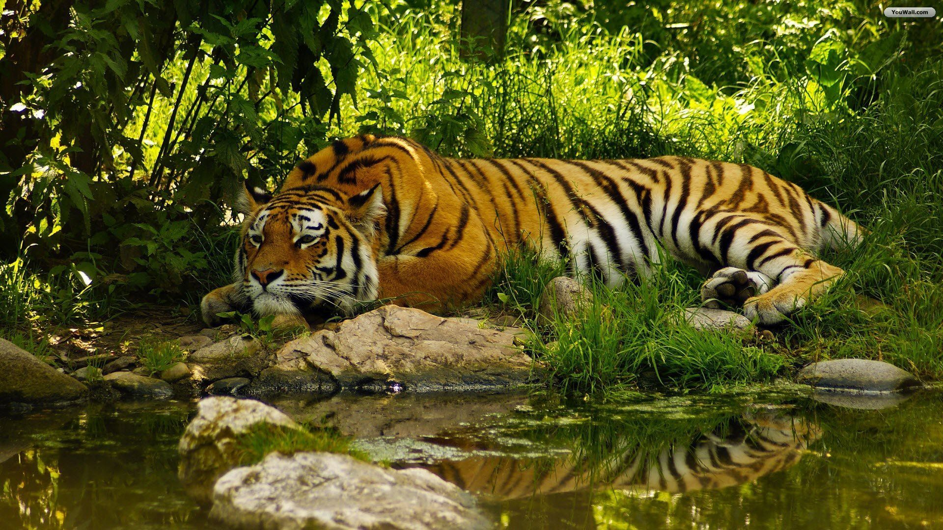 Tigers 2016 Widescreen