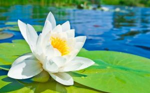 Wallpaper Water Lilies
