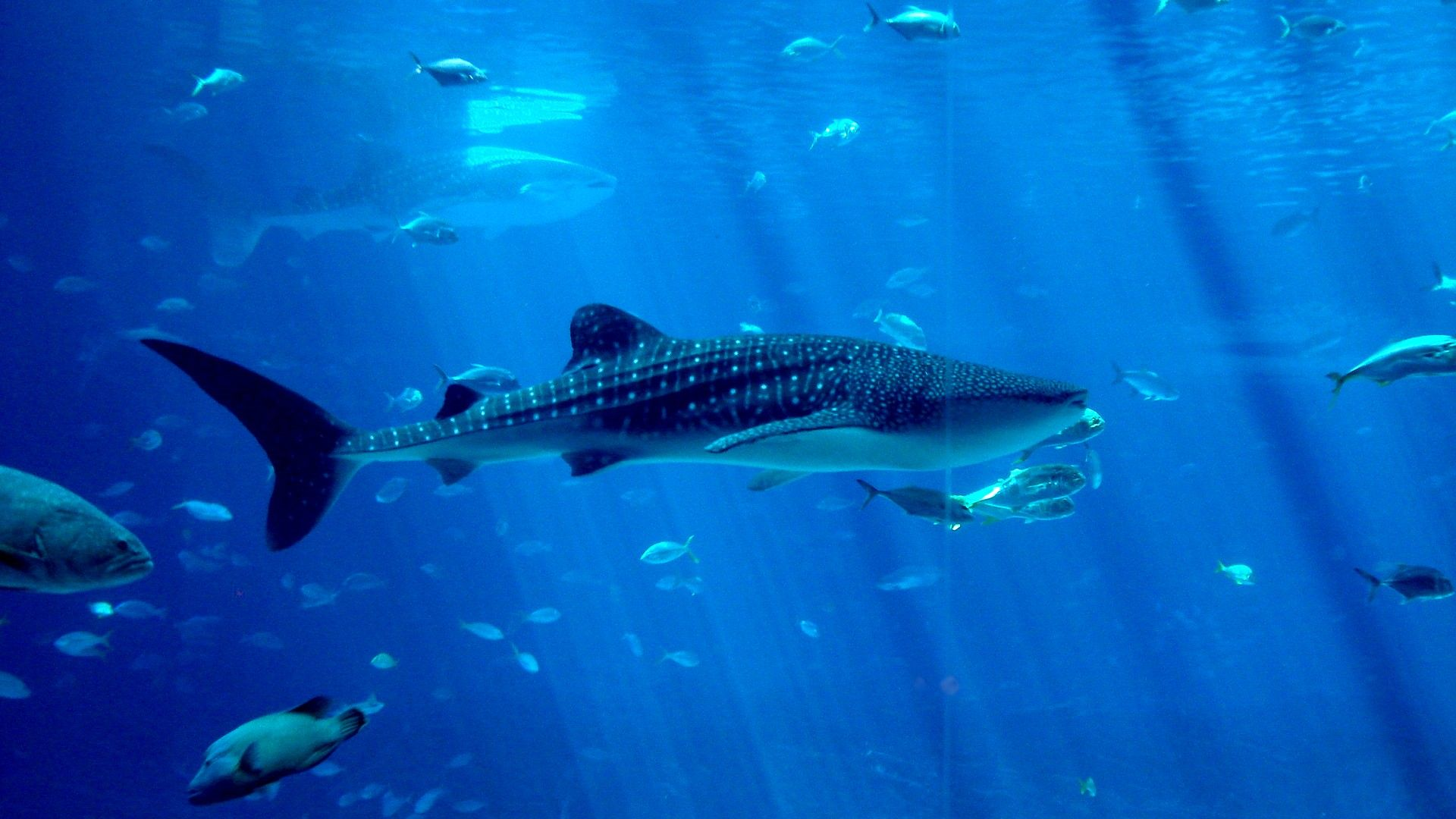 Whale Shark Pics By Dmitrii Armall On GOLDWALL