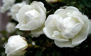 White Rose Flower Wallpaper