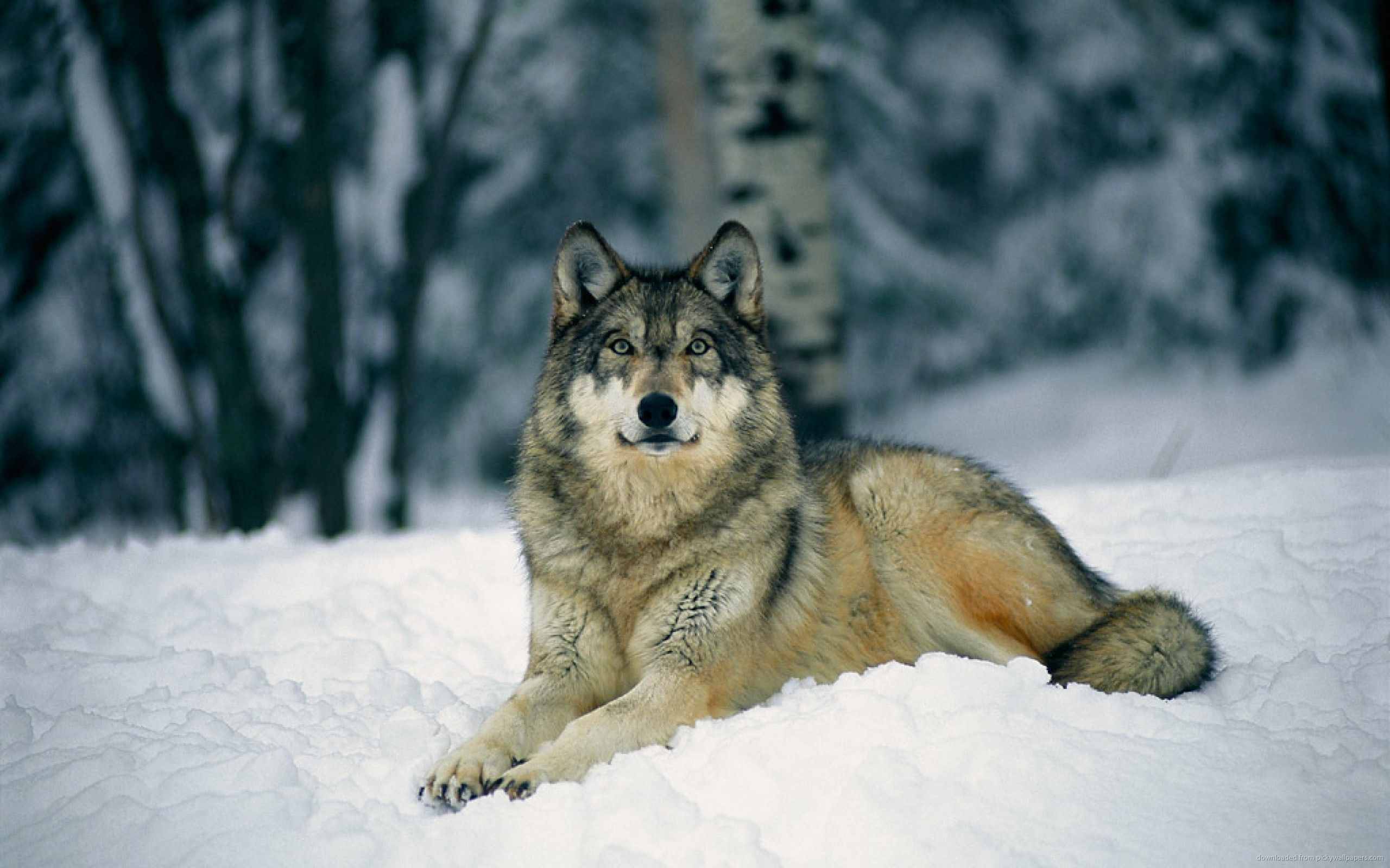 Wolf In Snow Gallery 533458877 Wallpaper For Free Cute Fhdq Wallpapers