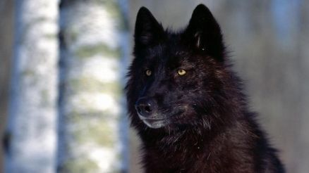 Images Of Wolf
