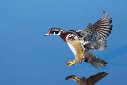 Pictures Of Wood Duck